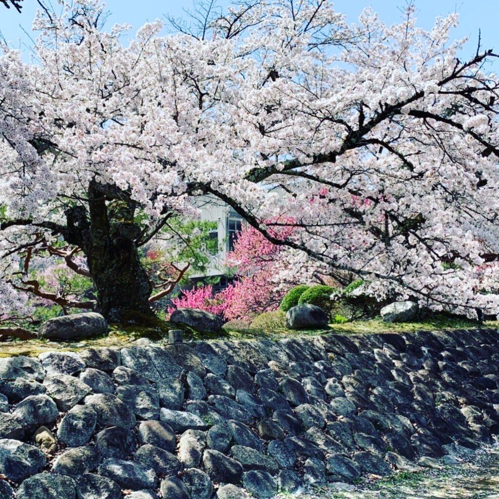 ビーラクスマツカワ桜