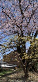 飯田市美術博物館の桜2021